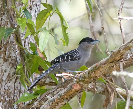 "Giant Antshrike, ranging south to northern Argentina and west to Bolivia, is an exciting find on any tour -- and at 12 inches long, it's an eyeful!<div id=""caption_tourlink"" align=""right"">Link to: <a id=""caption_tourlink"" href=""http://www.fieldguides.com/brazilshort.htm"" target=""_blank"">SERRA DOS TUCANOS, BRAZIL</a><br>[photo © participant Hop Hopkins]</div>"