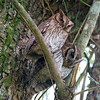 "Tropical Screech-Owl at Guapi Assu: this species is widespread and often common, but it's always great to find a pair during the day at a roost.<div id=""caption_tourlink"" align=""right"">Link to: <a id=""caption_tourlink"" href=""http://www.fieldguides.com/brazilshort.htm"" target=""_blank"">SERRA DOS TUCANOS, BRAZIL</a><br>[photo © participant Hop Hopkins]</div>"