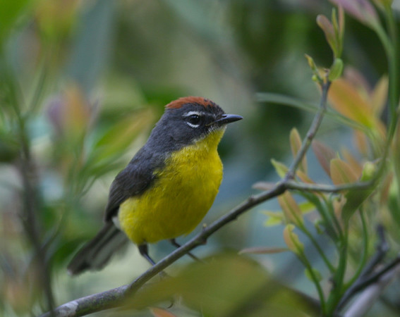 "Brown-capped Redstart, a charming sprite of the <i>yungas</i>, characterized by epiphyte-laden forest.<div id=""caption_tourlink"" align=""right"">Link to: <a id=""caption_tourlink"" href=""http://www.fieldguides.com/argentnorthwest.htm"" target=""_blank"">NORTHWESTERN ARGENTINA</a><br>[photo © guide Dave Stejskal]</div>"