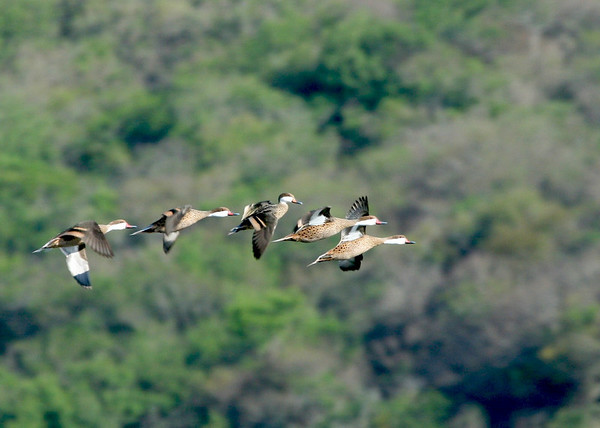 "A graceful flock of White-cheeked Pintails<div id=""caption_tourlink"" align=""right"">Link to: <a id=""caption_tourlink"" href=""http://www.fieldguides.com/argentnorthwest.htm"" target=""_blank"">NORTHWESTERN ARGENTINA</a><br>[photo © guide Dave Stejskal]</div>"