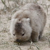 """A sun-bleached Wombat grazes on some herbs at Wilson's Promontory...<div id=""""caption_tourlink"""" align=""""right"""">Link to: <a id=""""caption_tourlink"""" href=""""http://www.fieldguides.com/australia.htm"""" target=""""_blank"""">AUSTRALIA</a><br>[photo © guide Chris Benesh]</div>"""