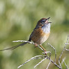 """This Southern Emuwren belts out its high-pitched song near Hamlyn Bay, Western Australia.<div id=""""caption_tourlink"""" align=""""right"""">Link to: <a id=""""caption_tourlink"""" href=""""http://www.fieldguides.com/australia.htm"""" target=""""_blank"""">AUSTRALIA</a><br>[photo © guide Chris Benesh]</div>"""