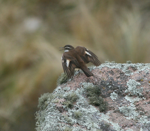 "Olrog's Cinclodes in the Cordillera Central.<div id=""caption_tourlink"" align=""right"">Link to: <a id=""caption_tourlink"" href=""http://www.fieldguides.com/argentnorthwest.htm"" target=""_blank"">NORTHWESTERN ARGENTINA</a><br>[photo © guide Dave Stejskal]</div>"