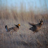 """As guide Dan Lane notes: Lesser Prairie Chickens look like they have swallowed scissors! <div id=""""caption_tourlink"""" align=""""right""""> [Photo © guide Dan Lane]</div>"""