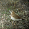 """...and Mountain Plover, which, despite its name, is rarely, if ever, encountered in montane habitat. Instead, it is a prairie-dog-town specialist. <div id=""""caption_tourlink"""" align=""""right""""> [Photo © guide Dan Lane]</div>"""