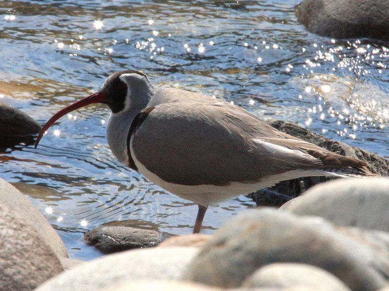"""Ibisbill, another highlight species which breeds along rocky riverbeds across the mountains of Central Asia from mid to high elevations, also allowed for some great views.<div id=""""caption_tourlink"""" align=""""right""""> [Photo © guide Richard Webster]</div>"""