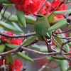 """...this framing of a Fire-tailed Myzornis at Thrumsing, with the birds colors almost perfectly blending into the surround leaves and flowers...<div id=""""caption_tourlink"""" align=""""right""""> [Photo © guide Richard Webster]</div>"""