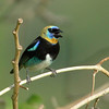 "This Golden-hooded Tanager put on quite a show for Chris's Canopy Tower group.<div id=""caption_tourlink"" align=""right""> [Photo © guide Chris Benesh]</div>"
