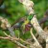 """Veraguan Mango, an endemic also possible on Part II of our new Panama's Fabulous Fortnight itinerary for 2011. <div id=""""caption_tourlink"""" align=""""right""""> [Photo © guide Chris Benesh]</div>"""