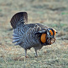 "Our quarry: the amazing (and seemingly inflatable!) Greater Prairie-Chicken! <div id=""caption_tourlink"" align=""right""> [Photo © guide Alvaro Jaramillo]</div>"