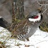 """A fantastic Dusky Grouse in the Black Canyon of the Gunnison was another great find. <div id=""""caption_tourlink"""" align=""""right""""> [Photo © guide Alvaro Jaramillo]</div>"""