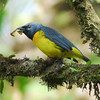 """And one last goodie from western Panama, the unusual Blue-and-gold Tanager, found only in Costa Rica and that part of Panama. <div id=""""caption_tourlink"""" align=""""right""""> [Photo © guide Chris Benesh]</div>"""