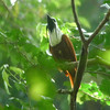 """Three-wattled Bellbirds, this one photographed by Chris in western Panama, are all mouth and wattles...and their far-carrying calls pack a punch! <div id=""""caption_tourlink"""" align=""""right""""> [Photo © guide Chris Benesh]</div>"""