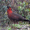 "...as did an amazing Satyr Tragopan, one of the tour's pheasant highlights.<div id=""caption_tourlink"" align=""right""> [Photo © guide Richard Webster]</div>"