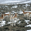 """And non-""""chicken"""" delights on the grouse tours included such lovelies as Pronghorn... <div id=""""caption_tourlink"""" align=""""right""""> [Photo © guide Alvaro Jaramillo]</div>"""