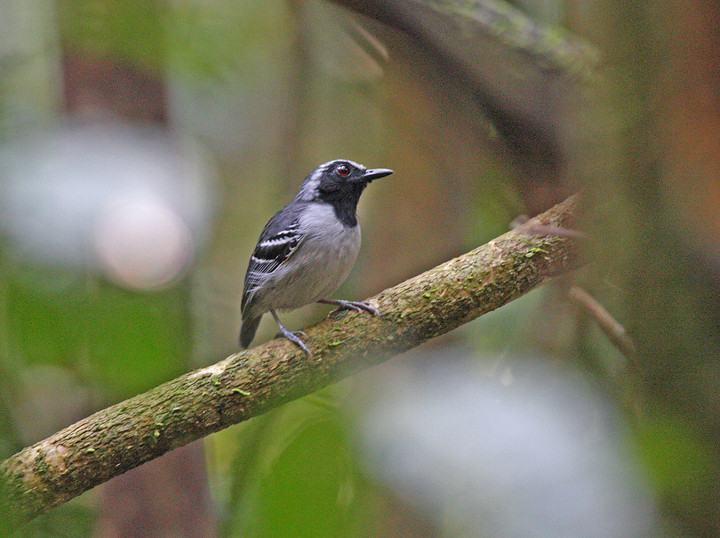 """Black-faced Antbird <div id=""""caption_tourlink"""" align=""""right""""> [photo © participant Dick Stilwell]</div>"""