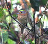 "Rufous-necked Puffbird <div id=""caption_tourlink"" align=""right""> [photo © participant Dick Stilwell]</div>"