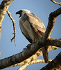 "Juvenile Harpy Eagle calling<div id=""caption_tourlink"" align=""right""><br>[photo © Bret Whitney]</div>"