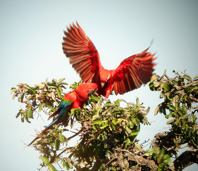 "Red-and-green Macaws<div id=""caption_tourlink"" align=""right""><br>[photo © Bret Whitney]</div>"