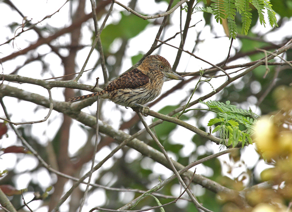 "Striolated Puffbird<div id=""caption_tourlink"" align=""right""><br>[photo © participant Dick Stilwell]</div>"
