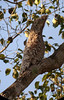 """Great Potoo<div id=""""caption_tourlink"""" align=""""right""""><br>[photo © Bret Whitney]</div>"""