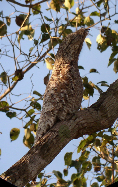 "Great Potoo<div id=""caption_tourlink"" align=""right""><br>[photo © Bret Whitney]</div>"