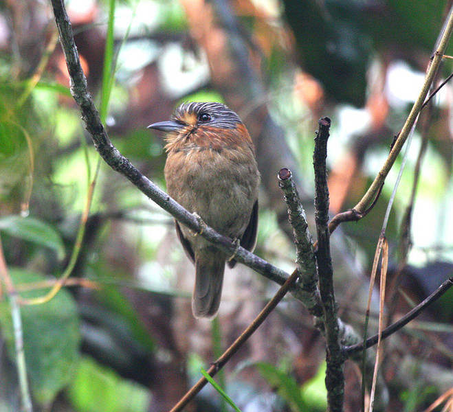 "Rufous-necked Puffbird<div id=""caption_tourlink"" align=""right""><br>[photo © participant Dick Stilwell]</div>"