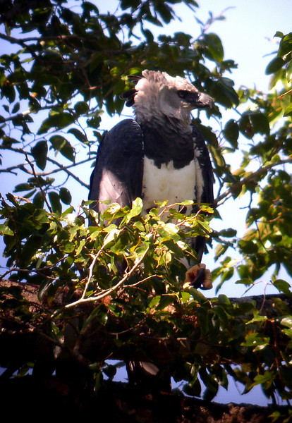 "A magnificent adult Harpy Eagle<div id=""caption_tourlink"" align=""right""><br>[photo © Bret Whitney]</div>"