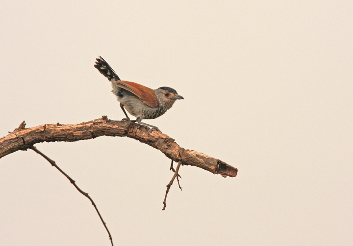 "Rufous-winged Antshrike<div id=""caption_tourlink"" align=""right""><br>[photo © participant Dick Stilwell]</div>"