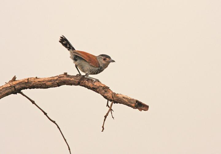 "Rufous-winged Antshrike<div id=""caption_tourlink"" align=""right""><br>[photo © participant Dick Stilwell]</div>"