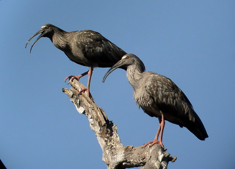 "Plumbeous Ibis<div id=""caption_tourlink"" align=""right""><br>[photo © Bret Whitney]</div>"