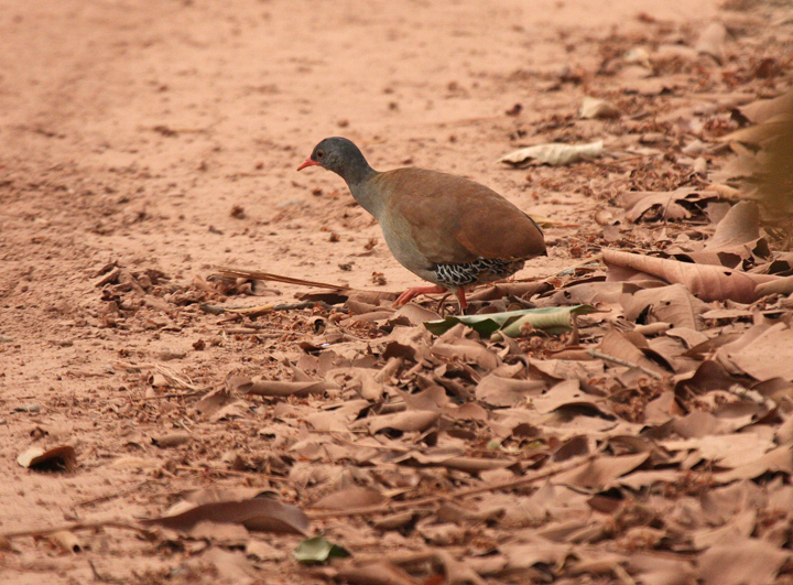 """Small-billed Tinamou<div id=""""caption_tourlink"""" align=""""right""""><br>[photo © participant Dick Stilwell]</div>"""