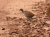 "Small-billed Tinamou<div id=""caption_tourlink"" align=""right""><br>[photo © participant Dick Stilwell]</div>"