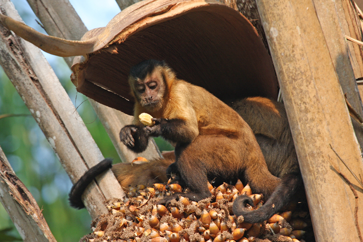 "Brown Capuchin<div id=""caption_tourlink"" align=""right""><br>[photo © participant Dick Stilwell]</div>"