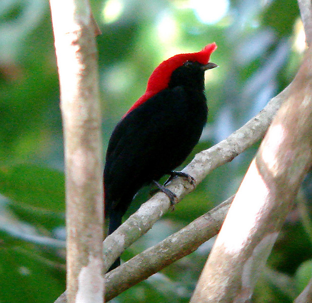 "Helmeted Manakin<div id=""caption_tourlink"" align=""right""><br>[photo © Bret Whitney]</div>"