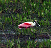 "Roseate Spoonbill<div id=""caption_tourlink"" align=""right""><br>[photo © participant Jacqui Probst]</div>"