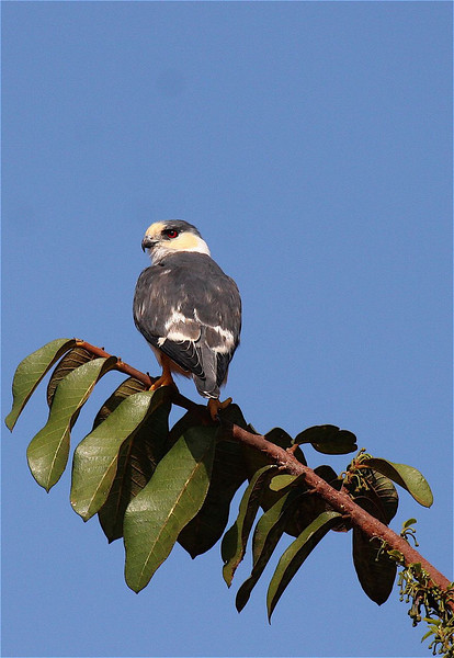 "Pearl Kite<div id=""caption_tourlink"" align=""right""><br>[photo © participant Jacqui Probst]</div>"