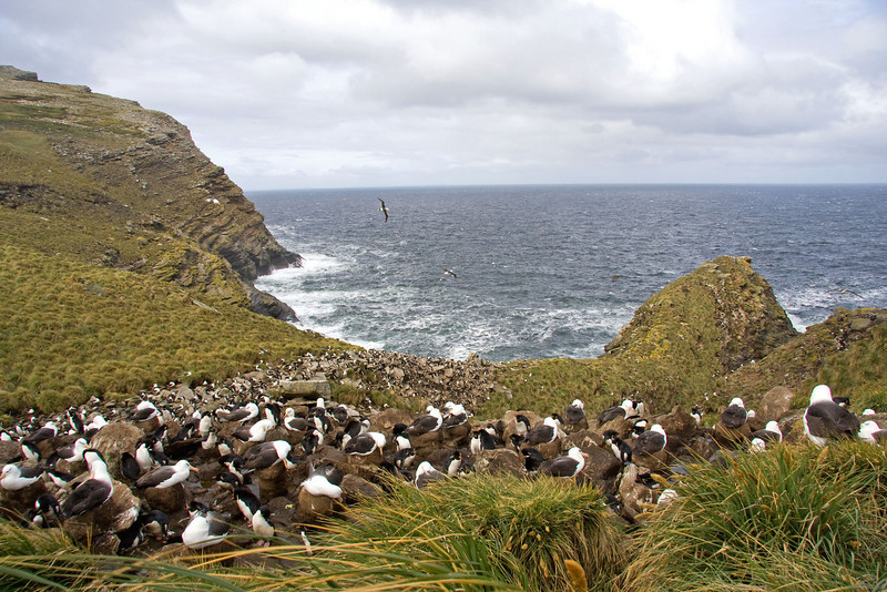 "The Black-browed Albatross and Rockhopper Penguin colony at West Point in the Falklands. <div id=""caption_tourlink"" align=""right""> [Photo © George Armistead]</div>"