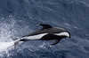 """The lovely Hourglass Dolphin visited the bow of the ship on a couple of occasions. <div id=""""caption_tourlink"""" align=""""right""""> [Photo © George Armistead]</div>"""
