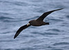 "The White-chinned Petrel shows only a tiny white chin patch, but it is a consummate ship-follower and so offers repeated views. <div id=""caption_tourlink"" align=""right""> [Photo © George Armistead]</div>"