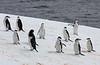 "Perhaps the most dapper penguin is the Chinstrap. <div id=""caption_tourlink"" align=""right""> [Photo © George Armistead]</div>"