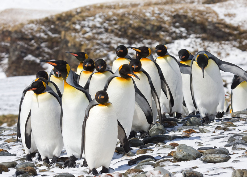 """Some elegantly attired King Penguins, one of the few species that can be found breeding almost year round. <div id=""""caption_tourlink"""" align=""""right""""> [Photo © George Armistead]</div>"""