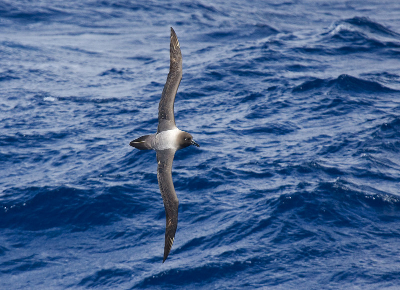 "This bird is hard to do justice to with a photograph. Everyone agrees that, seen in life, the Light-mantled Sooty Albatross is surely one of the most handsome of all the seabirds. <div id=""caption_tourlink"" align=""right""> [Photo © George Armistead]</div>"