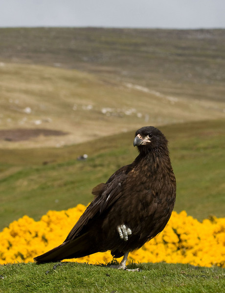 """Immature Striated Caracaras lack the striations. The yellow flowering bush behind this bird is gorse (Ulex europaeus), a popularly introduced plant from Scotland. <div id=""""caption_tourlink"""" align=""""right""""> [Photo © George Armistead]</div>"""