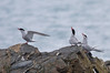 "Antarctic Terns at South Georgia. <div id=""caption_tourlink"" align=""right""> [Photo © George Armistead]</div>"