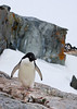 "Named for the wife of French explorer Jules Dumont d'Urville, Adelie Penguins are losing out with global warming. As the pack ice retreats it removes critical feeding areas for them. These areas are then colonized by the larger, more temperate-breeding Gentoo. <div id=""caption_tourlink"" align=""right""> [Photo © George Armistead]</div>"
