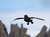 """An imposing Brown Skua comes careening in over the cliffs at Deception. <div id=""""caption_tourlink"""" align=""""right""""> [Photo © George Armistead]</div>"""