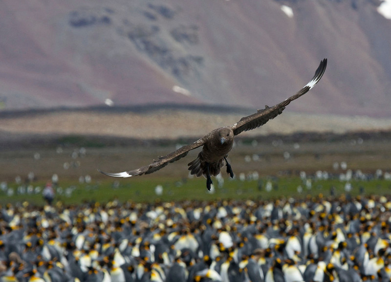 A Brown (Subantarctic) Skua hovers wraith-like over the penguin colony.  [Photo by guide George Armistead]