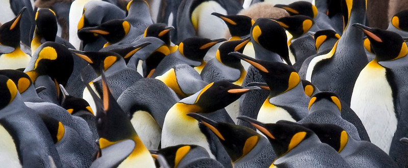 At Salisbury Plain on South Georgia about 200,000 King Penguins breed.  [Photo by guide George Armistead]