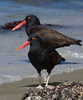 Blackish Oystercatchers at Carcass.  [Photo by guide George Armistead]